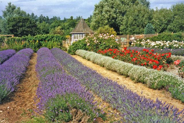 Lavender Beds at Norfolk Lavender, Heacham, Norfolk