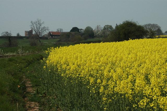 Oil-seed Rape in bloom near Eyton-on-Severn