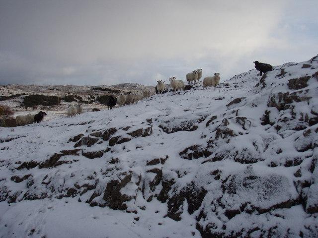 Sheep on the Londubh common grazing