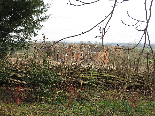 Coppiced hedge at Taynton