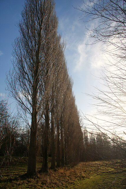 Poplars by Lode Mill