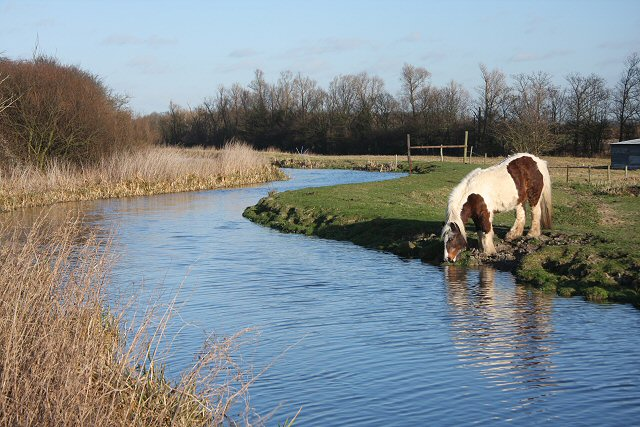 Horse drinking at Quy Water