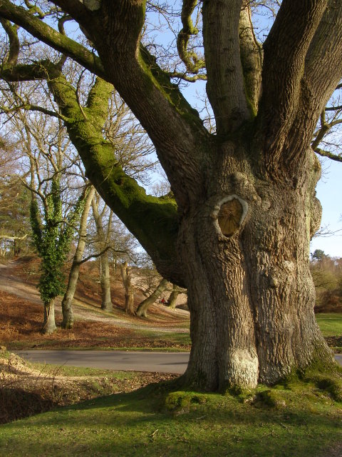 The Moyles Court Oak