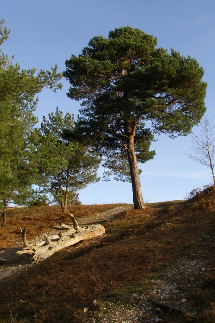 Scots pine on the western spur of Rockford Common, New Forest
