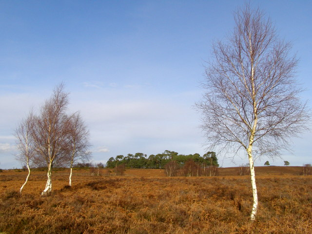 View towards Whitefield Plantation, Ibsley Common, New Forest