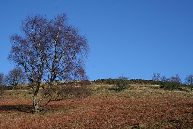 Birch on North Hill