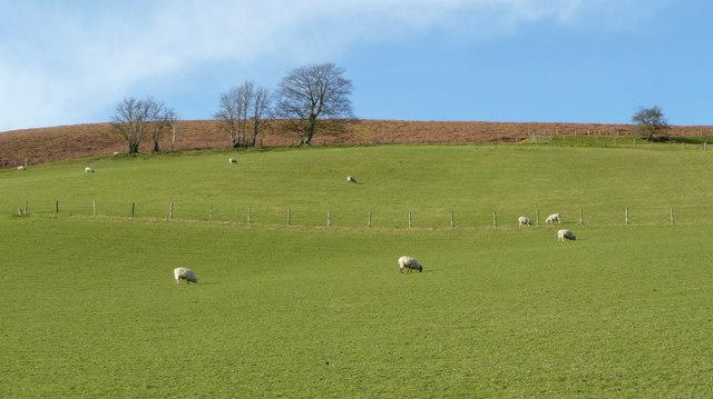 Sheep grazing on Little Hill