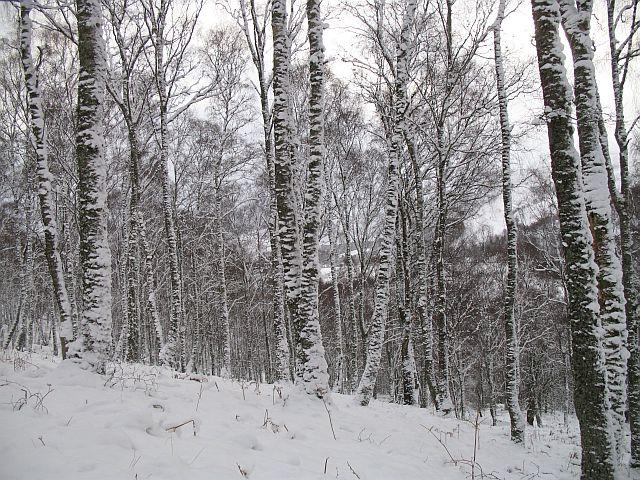 Birch woods, Kinloch Rannoch