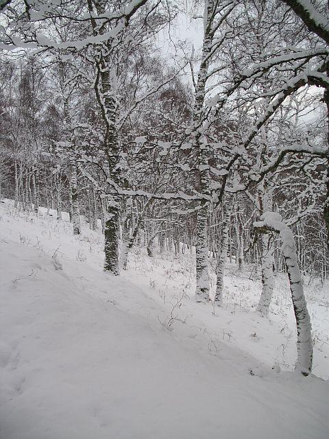 Birches, Kinloch Rannoch