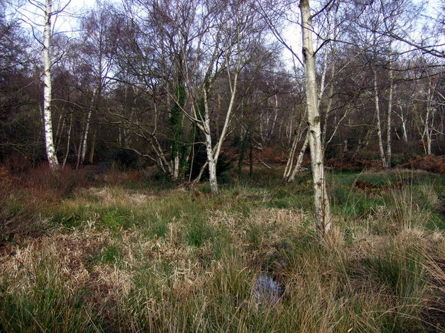 Silver birch in West Heath