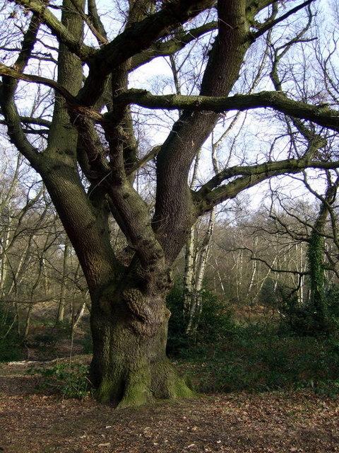 Oak tree on West Heath