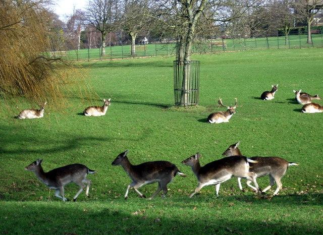 Running deer in Golders Hill Park