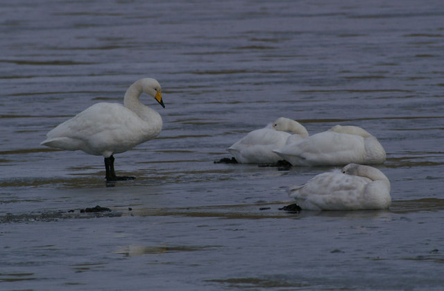 Whooper Swans (Cygnus cygnus) on the ice at Uyeasound