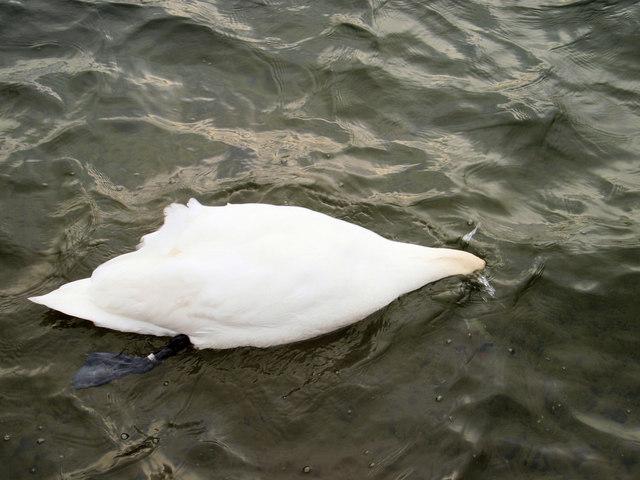 Duck....(no it's a swan!)