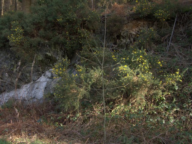 Gorse and rocks by the wayside