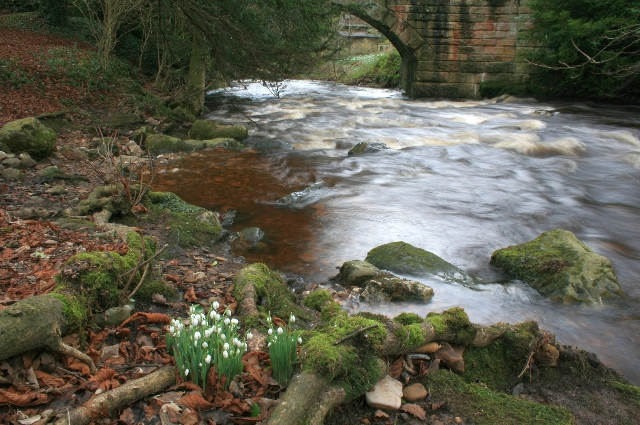 Snowdrops and Marske Beck