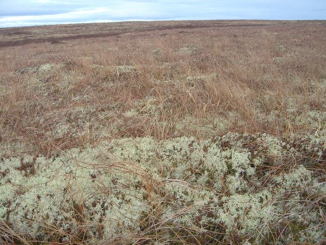 Cladonia Heath
