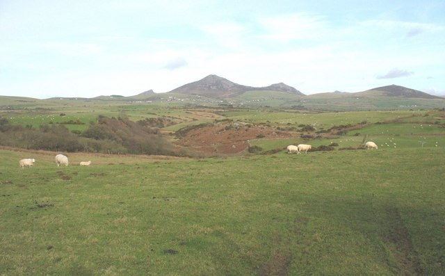 Sheep grazing above the incised valley of Afon Rhyd-hir