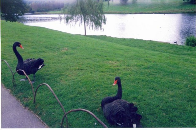 Black Swans at Leeds Castle