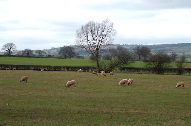 Sheep Grazing near Great Sutton, Shropshire