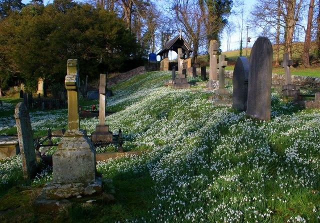 Snowdrops in bloom at Llantysilio  Churchyard