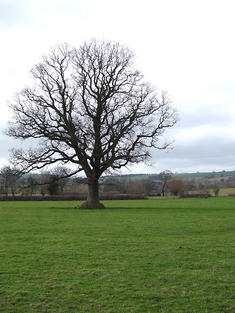 Winter Oak south of Diddlebury, Shropshire