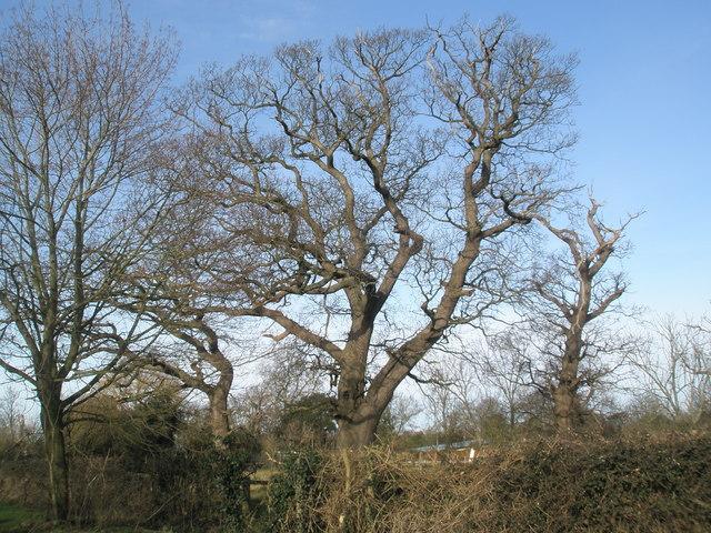 Winter trees in Pook Lane