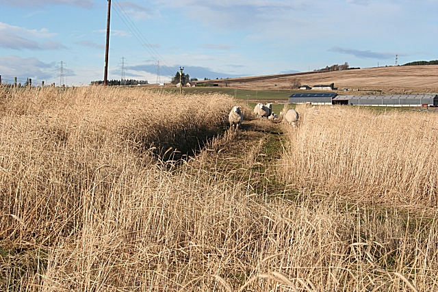 Sheep in the Barley