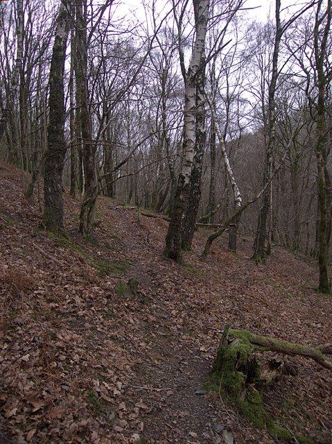 Birch wood in Cwm yr Erw