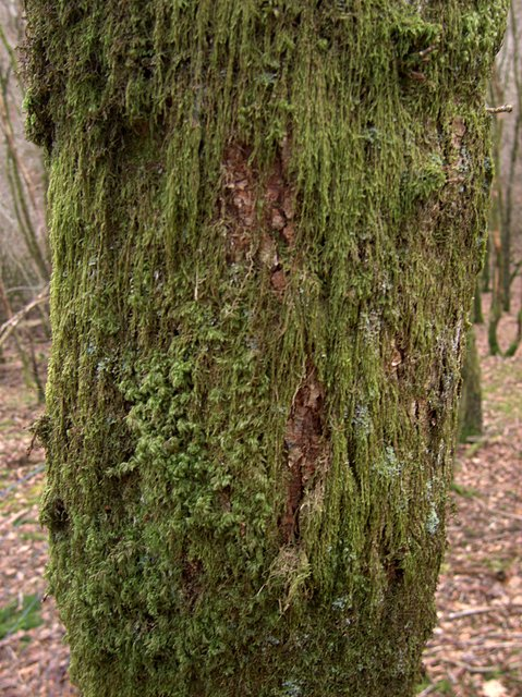 Moss cover on birch tree