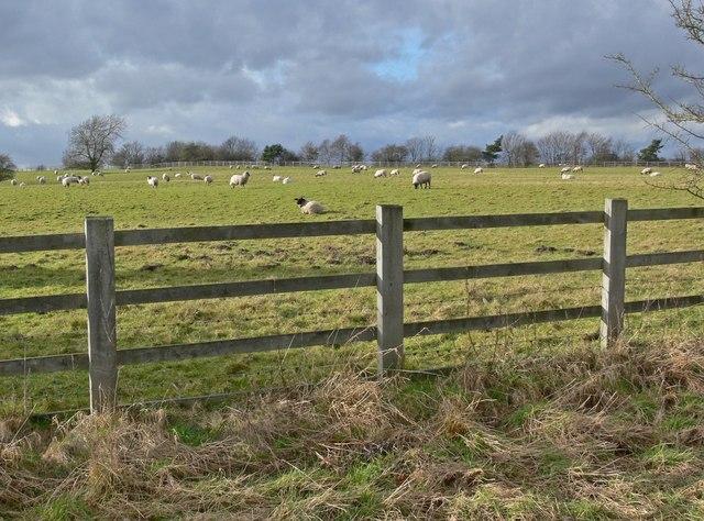 Sheep along Croft Lane