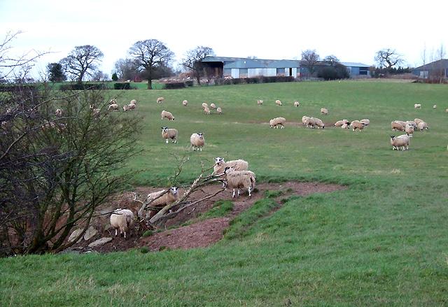 Sheep Grazing, Sutton Hill, Shropshire