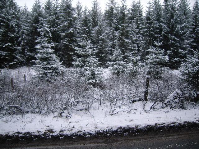 Christmas Trees growing