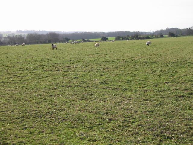 Sheep field near Chillenden