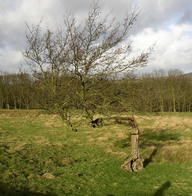 Bent tree, Draughton