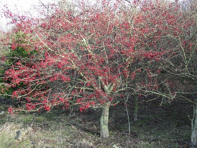 Hawthorn berries aplenty