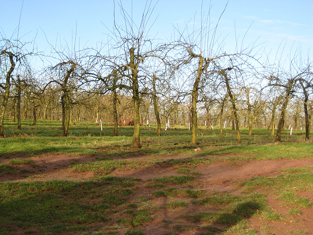 Orchards in winter