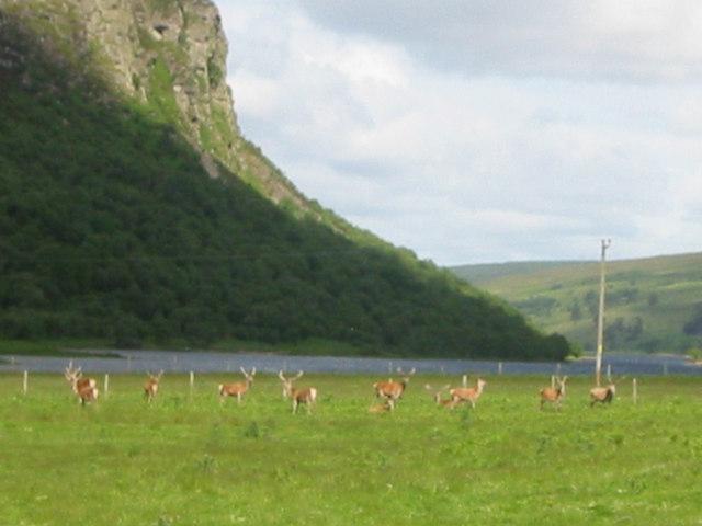 Red Deer at Killin. Loch Brora & Carol Rock in background