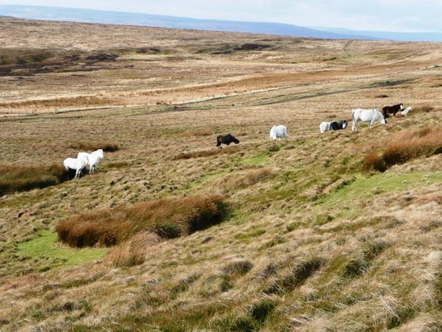 Horses on Cefn Coch