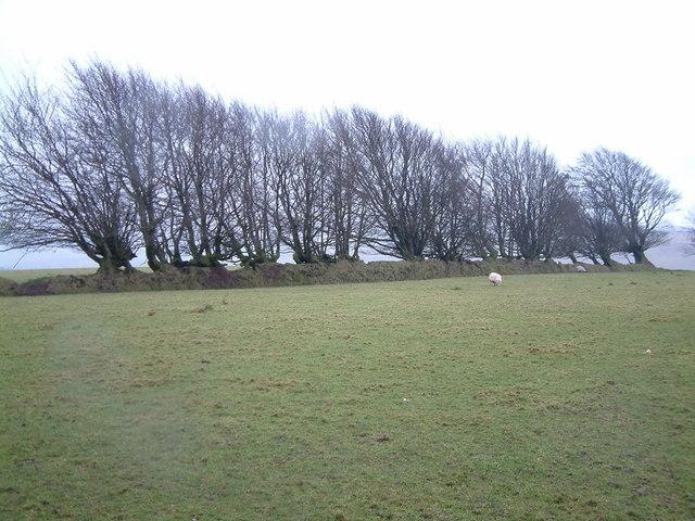 Beech Trees and boundary wall