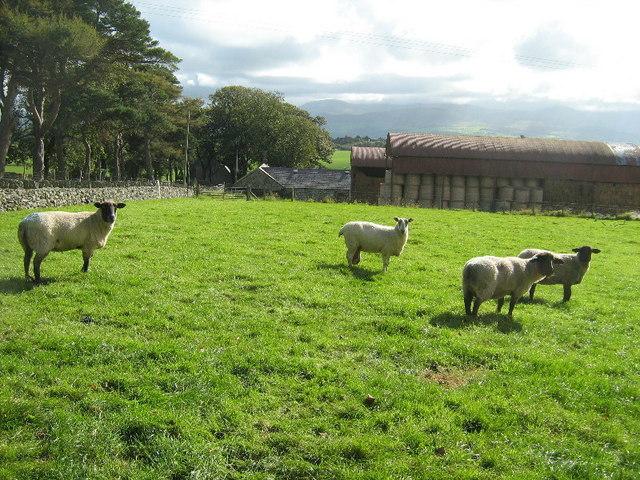 Sheep and barns at Plas Llandegfan