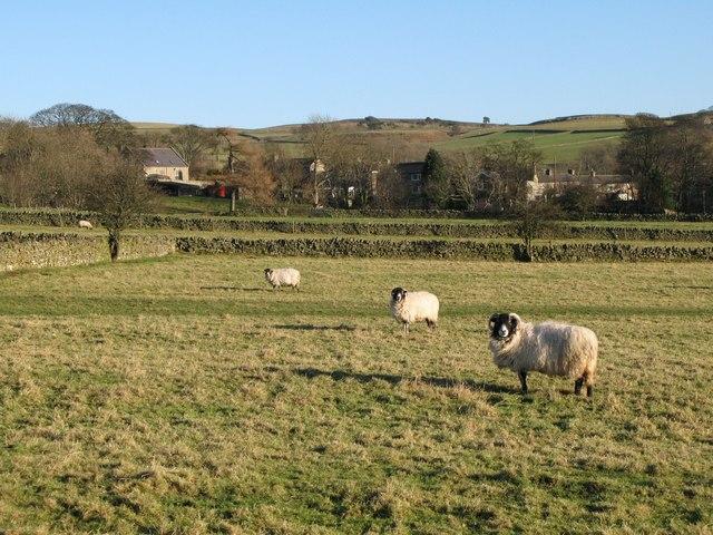 Sheep grazing near Catton