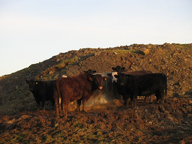 Cattle, Whitchesters