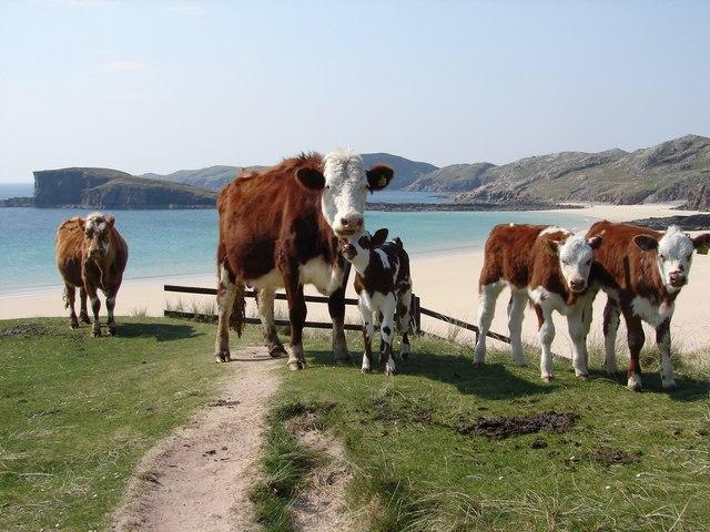 Oldshoremore Bay - Cattle