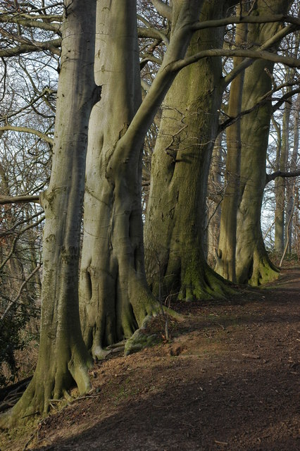 Beech trees on Baker's Hill, Hidcote Bartrim