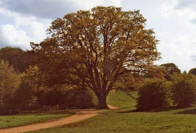 Oak Tree, Trent Country Park, London N14