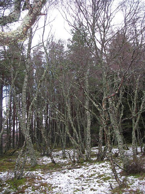 Birch woods, Ralia