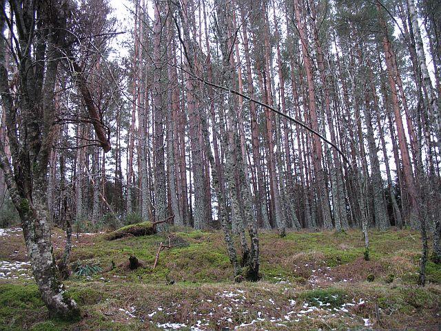 Pine woods, Ralia