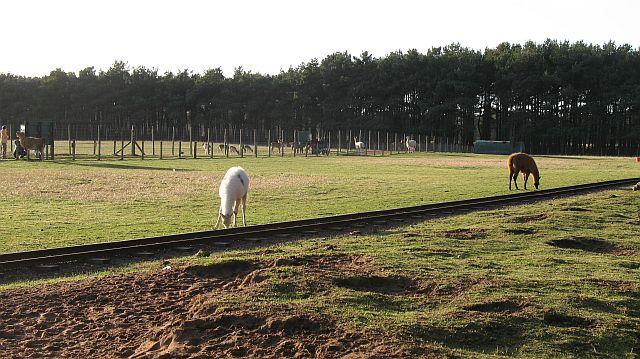 Llamas, East Links Park