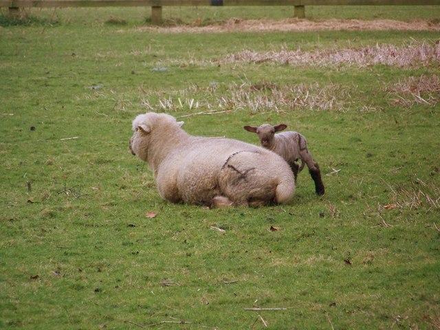 Ewe and Lamb, Beckington